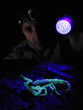 An Arachnologist Has Detected a Huge Scorpion (Hottentotta Jayakari) Using an Uv Light at Night Photographic Print by Fabio Pupin