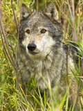 Gray Wolf (Canis Lupus), Wyoming, USA Photographic Print by Joe McDonald