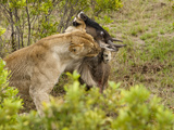 African Lion with Wildebeest Prey (Panthera Leo), Masai Mara, Kenya Photographic Print by Mary Ann McDonald