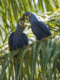 Hyacinth Macaw (Anodorhynchus Hyacinthinus) Pantanal, Brazil Papier Photo par Mary Ann McDonald