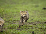 Cheetah (Acinonyx Jubatus) Cubs Playing, Masai Mara Game Reserve, Kenya, Africa Photographic Print by Mary Ann McDonald