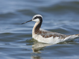 Wilson's Phalarope Adult Female in Breeding Plumage Swimming (Phalaropus Tricolor), Willcox, USA Photographic Print by Charles Melton