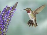 Broad-Tailed Hummingbird (Selasphorus Platycercus) Male Flying Photographie par Jack Milchanowski