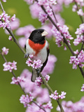 Male Rose-Breasted Grosbeak (Pheucticus Ludovicianus) in Redbud Tree Reproduction photographique par Steve Maslowski