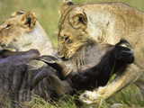 African Lions Eating Fresh Kill (Panthera Leo), Masai Mara, Kenya Photographic Print by Joe McDonald
