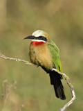 White-Fronted Bee-Eater (Merops Bullockoides), Kenya Photographic Print by Arthur Morris