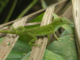 Neotropical Green Anole (Anolis Biporcatus), Braulio Carillo National Park, Costa Rica Photographic Print by Thomas Marent