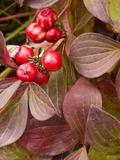 Bunchberry (Cornus Suecica), Alaska, USA Photographic Print by Joe McDonald