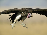 Nubian Vulture (Torgos Tracheliotus) Gliding Down in the Masai Mara Game Reserve, Kenya Photographic Print by Joe McDonald