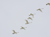 Tundra Swans in Flight (Olor Columbianus), Montana, USA Photographic Print by Neal Mischler