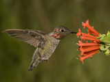 Anna's Hummingbird Male (Calypte Anna) Feeding at a Red Tubular Bouvardia Ternifolia Flower, USA Photographic Print by Charles Melton