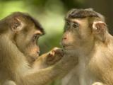 Pig-Tailed Macaques (Macaca Nemestrina) Mutual Grooming Behavior, Borneo Photographic Print by Joe McDonald