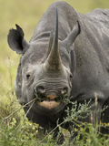 Black Rhinoceros, Diceros Bicornis, Grazing in the Masai Mara Gr, Kenya Photographic Print by Joe McDonald
