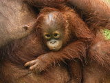 Borneo Orangutan Baby with Wet Fur Being Held by an Adult (Pongo Pygmaeus) Photographic Print by Thomas Marent