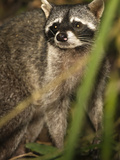 Crab-Eating Raccoon (Procyon Cancrivorus), Costa Rica Photographie par Joe McDonald