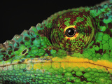 Close Up of a Male Panther Chameleon Eye and Scales (Furcifer Pardalis) Photographic Print by Thomas Marent