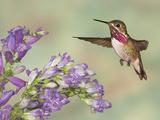 Calliope Hummingbird (Stellula Calliope) Male Flying Photographie par Jack Milchanowski