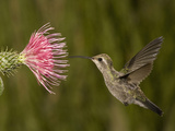 Broad-Billed Hummingbird Juvenile Female (Cynanthus Latirostris) Feeding at a Thistle Photographic Print by Charles Melton