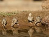 Gambel's Quail Chicks Drinking at a Waterhole (Callipepla Gambelii), Arizona, USA Photographie par Mary Ann McDonald