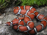 Red Milk Snake (Lampropeltis Triangulum Syspila) Photographic Print by Gerold & Cynthia Merker