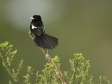 White-Winged Widowbird, Euplectes Albonotatus, Central Africa Photographic Print by Joe McDonald