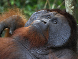 Male Borneo Orangutan Resting (Pongo Pygmaeus) Tanjung Puting National Park, Kalimantan Photographic Print by Thomas Marent