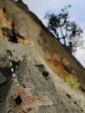 A Socotran Rock Gecko (Hemidactylus Inintellectus) on Rocks, Socotra, Yemen Photographic Print by Fabio Pupin