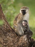 Vervet Monkey (Chlorocebus Pygerythrus) with Young in the Masai Mara Game Reserve, Kenya Photographic Print by Joe McDonald