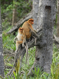 Female Proboscis Monkeys (Nasalis Larvatus), Sabah, Borneo, Malaysia Photographic Print by Thomas Marent