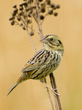 Henslow's Sparrow (Ammodramus Henslowii) Photographic Print by Steve Maslowski