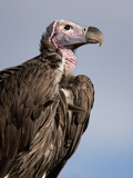Lappet-Faced Vulture (Torgos Tracheliotus) Perched in the Masai Mara Game Reserve, Kenya Photographic Print by Joe McDonald