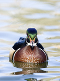 Male Wood Duck (Aix Sponsa), Montana, USA Photographic Print by Neal Mischler