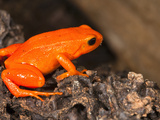 Golden Mantella Frog (Mantella Aurantiaca) from Madagascar, Captivity Photographic Print by Joe McDonald