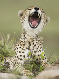 Cheetah (Acinonyx Jubatus) with Open Mouth, Serengeti, Tanzania Photographic Print by Joe McDonald
