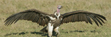 Nubian or Lappet-Faced Vulture, Torgos Tracheliotus, Landing with its Wings Outstretched Photographic Print by Arthur Morris