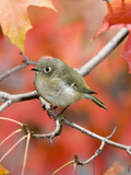 Ruby-Crowned Kinglet (Regulus Calendula) Perched on Maple Tree Branch Photographie par Steve Maslowski