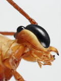 Ichneumon Wasp Showing the Eye and Structures of the Mouth Photographic Print by Mark Plonsky
