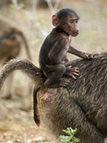 Young Olive Baboon (Papio Anubis) with Mother, Samburu Game Reserve, Kenya, Africa Photographic Print by Mary Ann McDonald