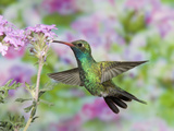 Male Broad-Billed Hummingbird (Cynanthus Latirostris) at Flower Papier Photo par Steve Maslowski