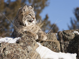 Bobcat (Lynx Rufus) in Rocks Watching for Prey, Western North America Photographic Print by Joe McDonald