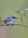 Male Cerulean Warbler (Dendroica Cerulea) Perched on a Branch Photographic Print by Steve Maslowski