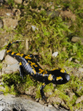A Young Fire Salamander (Salamandra Salamandra), Europe Photographic Print by Fabio Pupin
