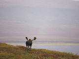 Moose Bull (Alces Alces) Walking on the Tundra, Denali National Park, Alaska, USA Photographic Print by Joe McDonald