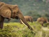 African Elephant (Loxodonta Africana) Feeding, Samburu Game Reserve, Kenya, Africa Photographic Print by Mary Ann McDonald