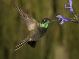Magnificent Hummingbird Male (Eugenes Fulgens) Feeding at At a Sage Flower Fotografisk tryk af Charles Melton