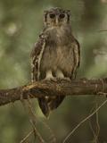 Verreaux Eagle Owl, Bubo Lacteus, Africa Photographic Print by Joe McDonald