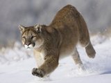 Puma (Puma Concolor) Running Through Snow in Montana, USA Photographic Print by Joe McDonald