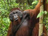 Male Borneo Orangutan (Pongo Pygmaeus), Camp Leaky, Tanjung Puting National Park, Kalimantan Photographic Print by Thomas Marent