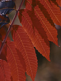 Smooth Sumac (Rhus Glabra) Leaves in Autumn, Front Range, Colorado, USA Photographic Print by Robert & Jean Pollock