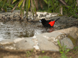 Passerini's or Cherrie's Tanager Male in a Bird Bath (Ramphocelus Passerinii) Turrialba, Costa Rica Photographie par Mary Ann McDonald